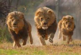 Aparecen leones de la nada para salvar la vida de cristianos